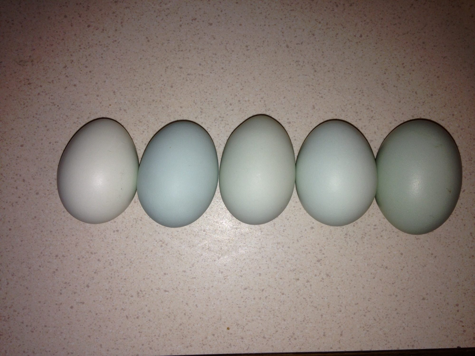 5 blue eggs from our 5 EEHens