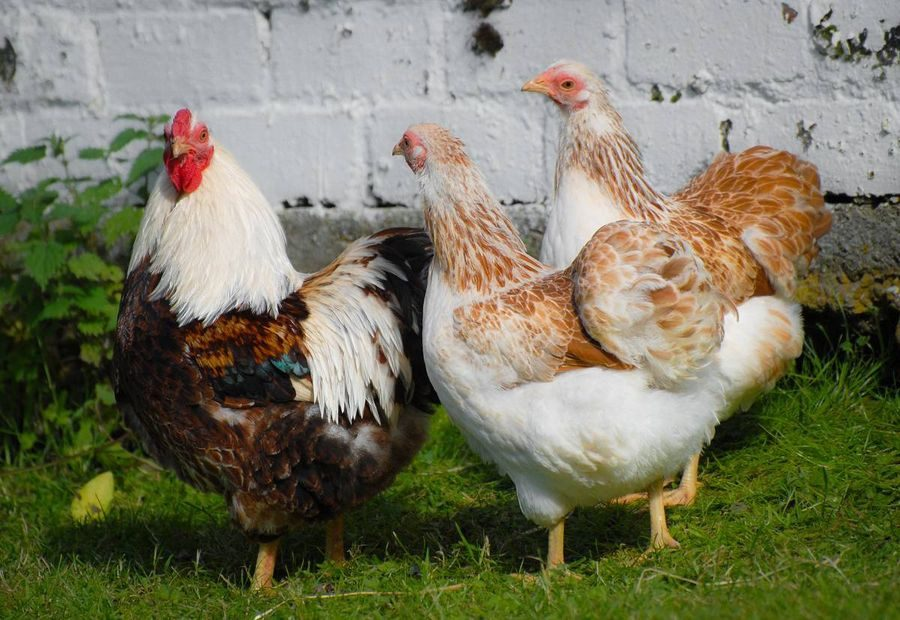 sumi's photos in Chicken Breed Focus - Wyandotte