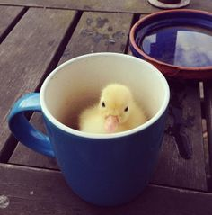Sally Sunshine's photos in Chick Mug Shots a Contest thread for participants of the Springing in the Chicks Hatch A Long