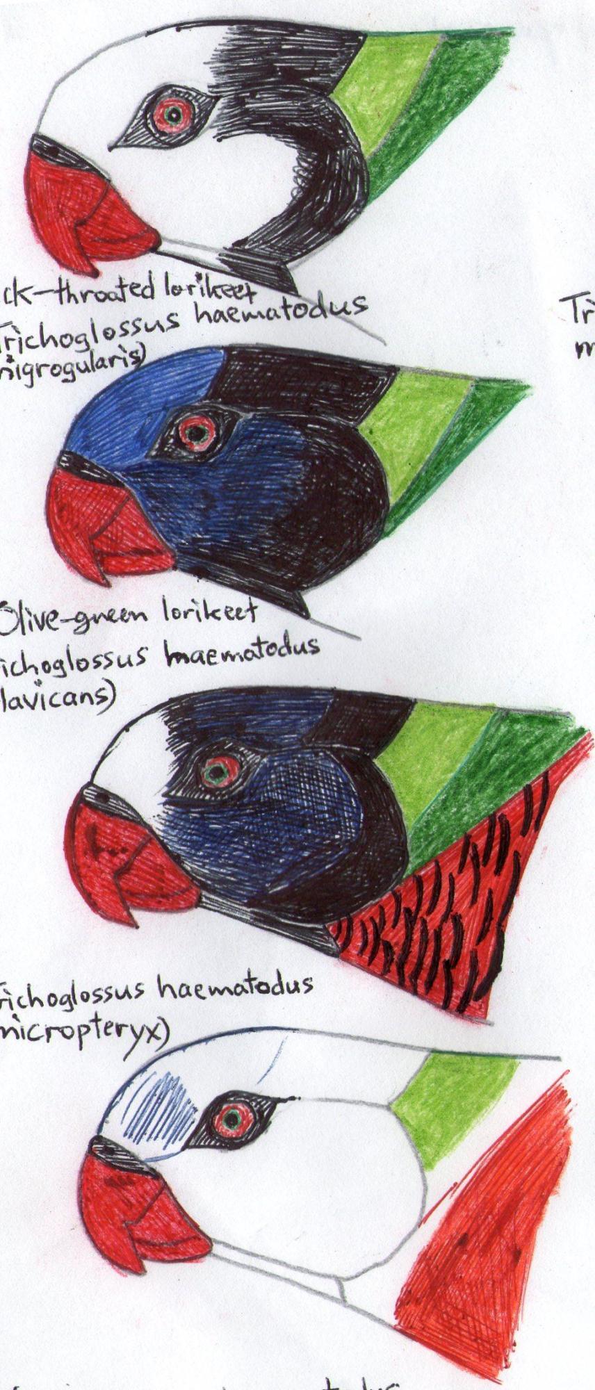 Heads of rainbow lorikeets.