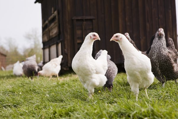 Buying chickens- What to look for?