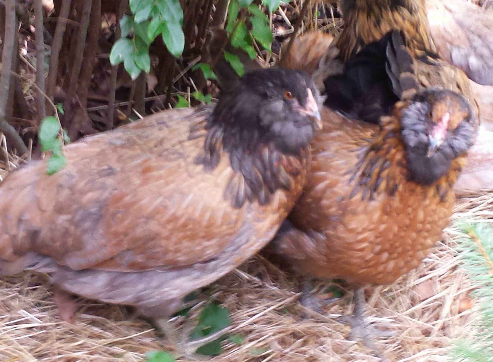 LOVE all my Ameraucana hens, so sweet and friendly!