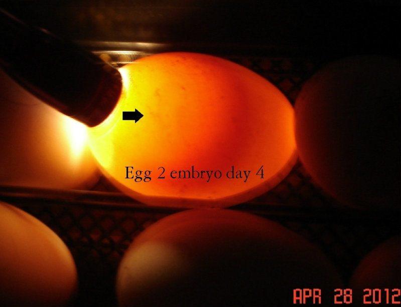 egg2day4.jpg