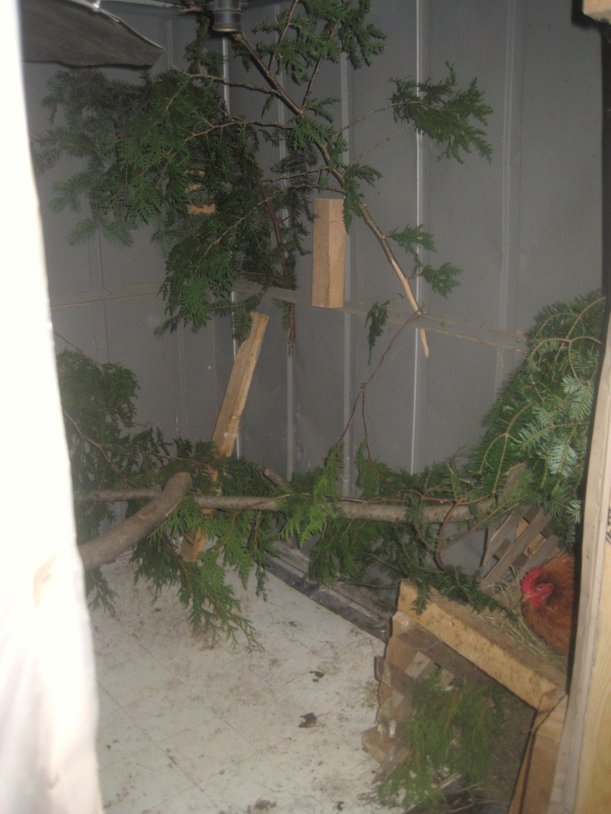 inside the coop. they all love the real branches to perch on. they also have 4 boxes to lay in