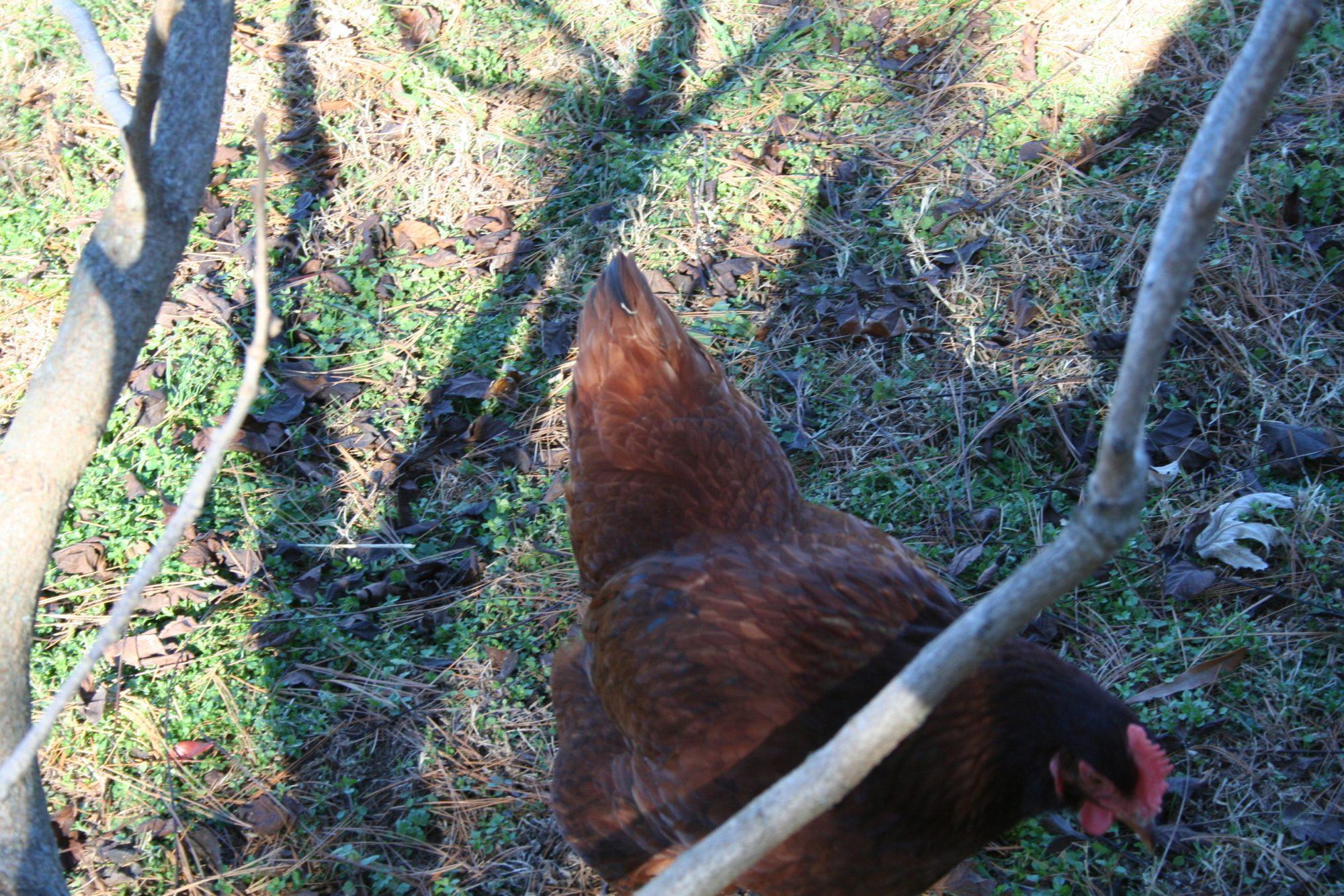 GertrudeLover01's photos in happy hen show