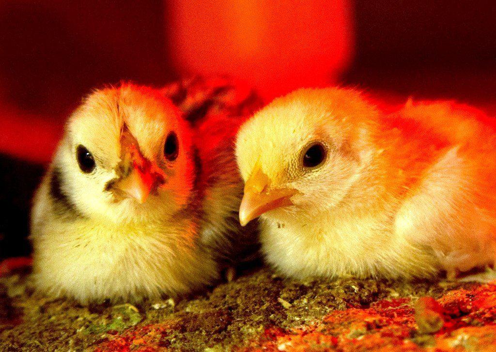 Two Chicks.jpg