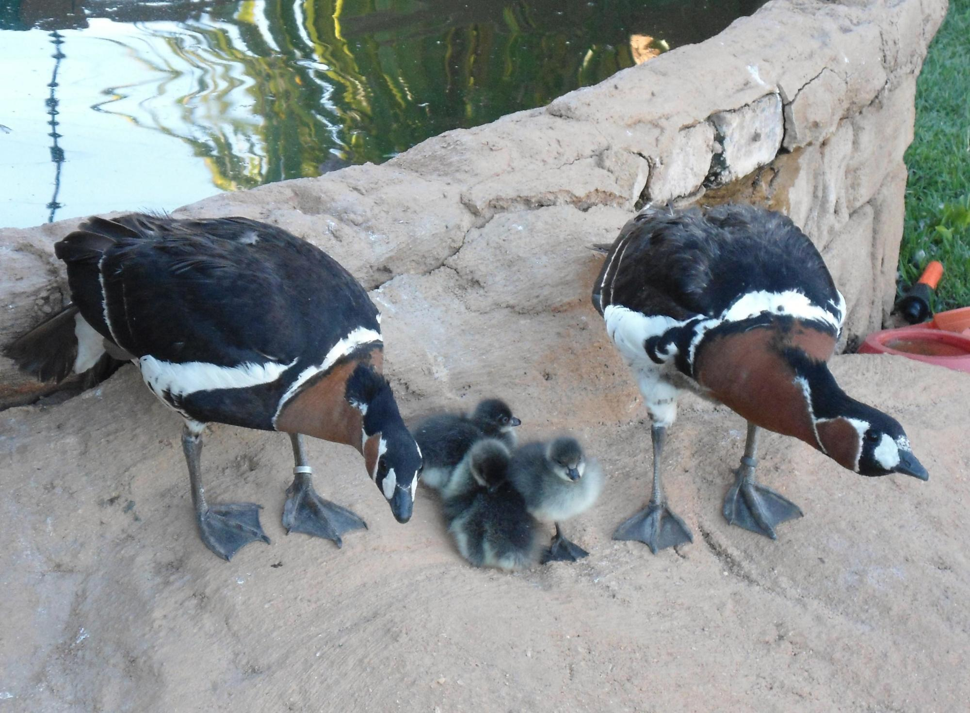 red breasted geese.jpg