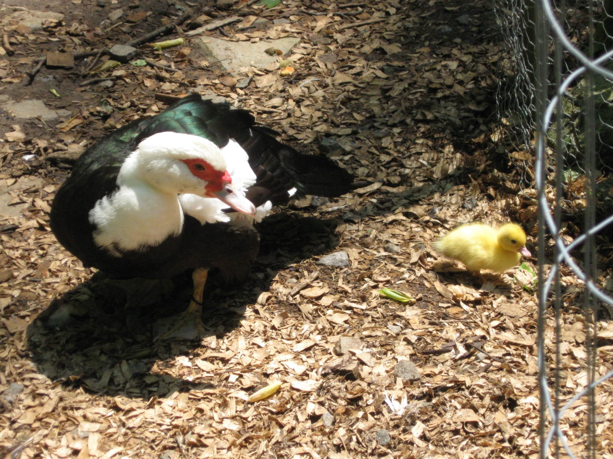 May 18th 2012 Ruthis ducklings meets the world 009.JPG