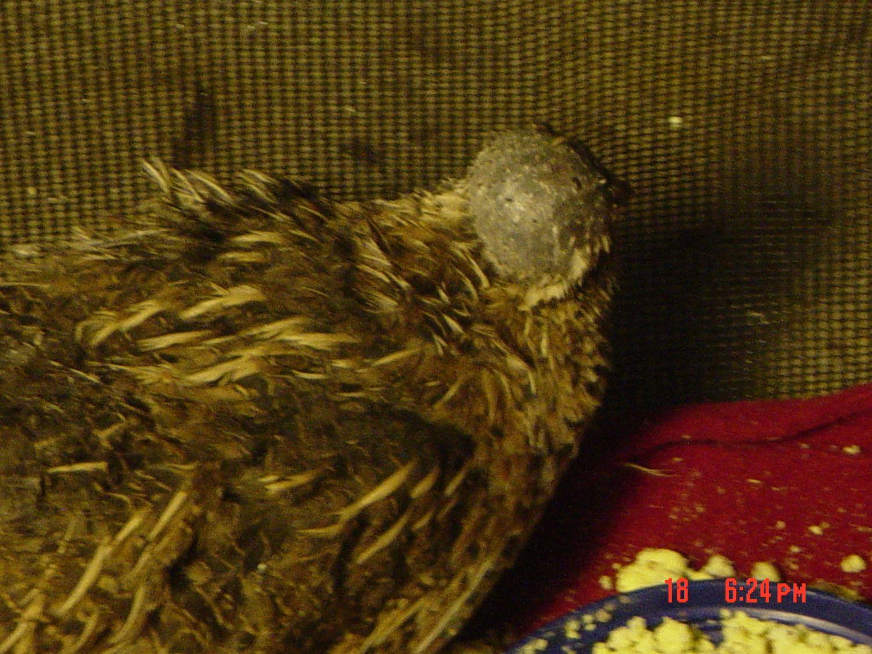 Lobzi's photos in Advice needed regarding quail hen with head enlargement