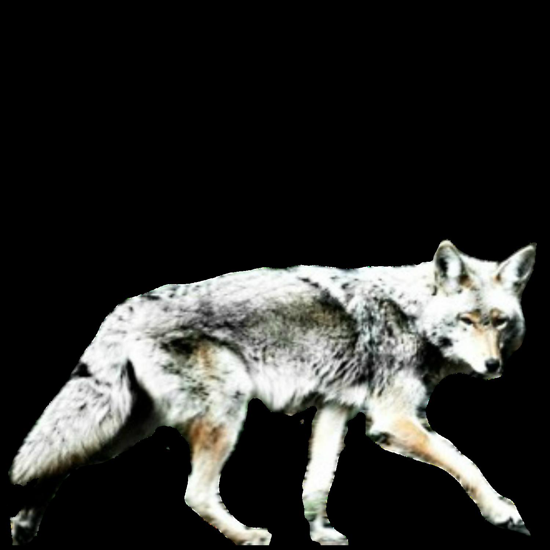 Coyote Night profile picture