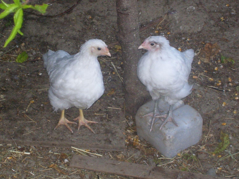 Chickens.2012