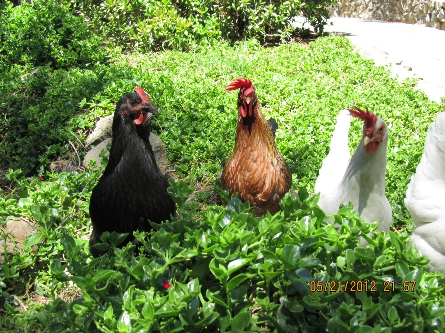 gander111's photos in Your Chicken Pictures Needed For The BYC 2013 Calendar