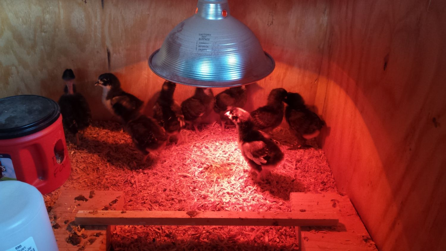 My first flock of 9 chicks. Hatched from my moms eggs. Breeds include black australorp, brahma, barred rock, naked neck, and ameraucana. The rooster is half australorp/barred rock.