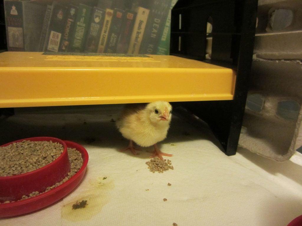 Test Hatch Basque chick 1.jpg