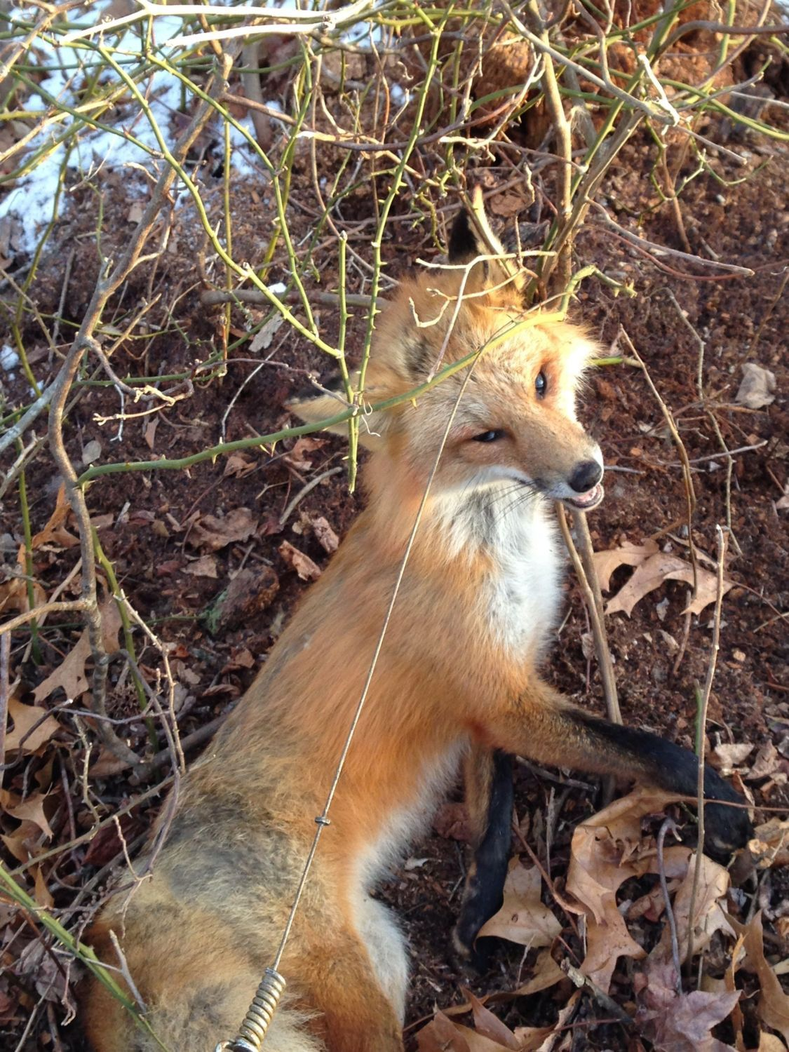 roosterhavoc's photos in foxes