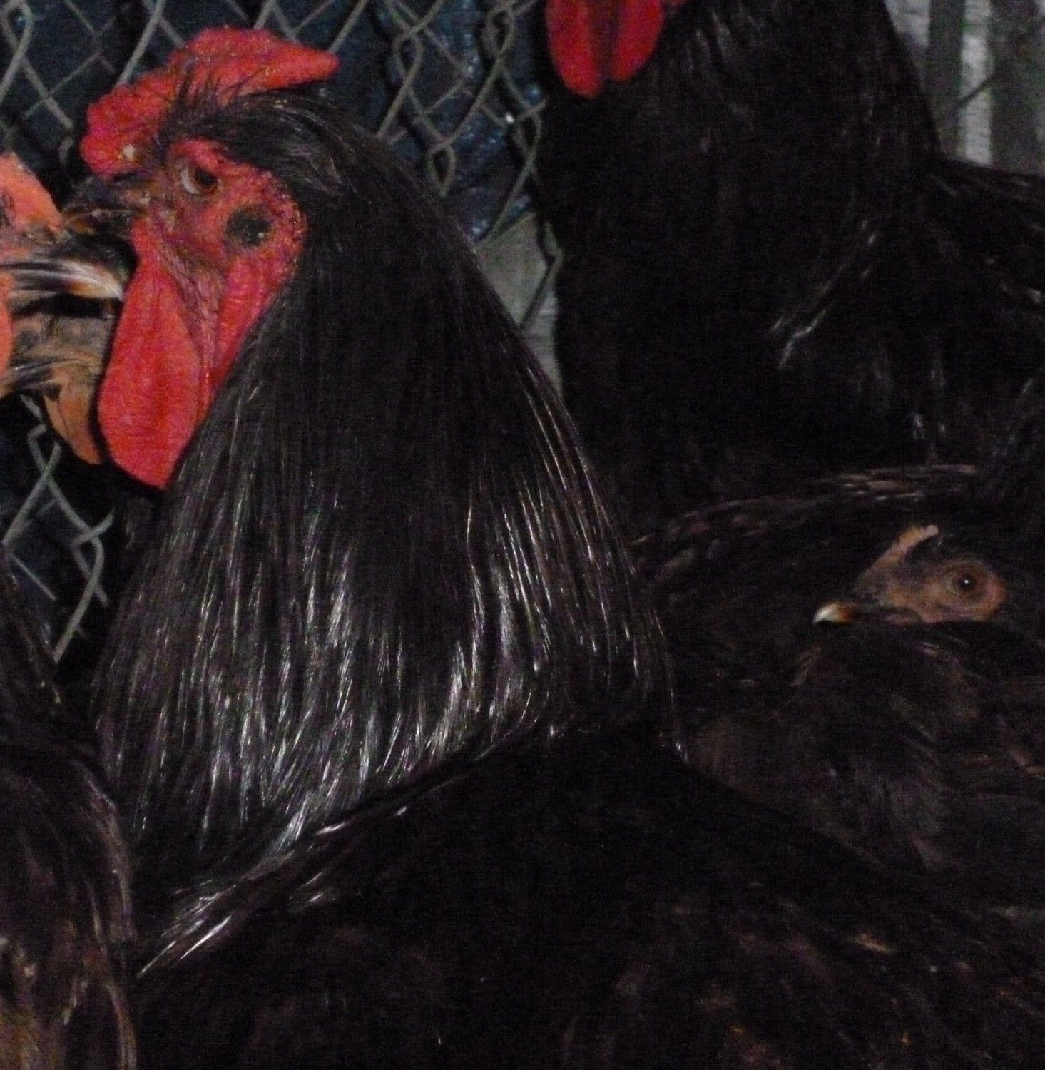 RedBugPoultry's photos in The Heritage Rhode Island Red Site