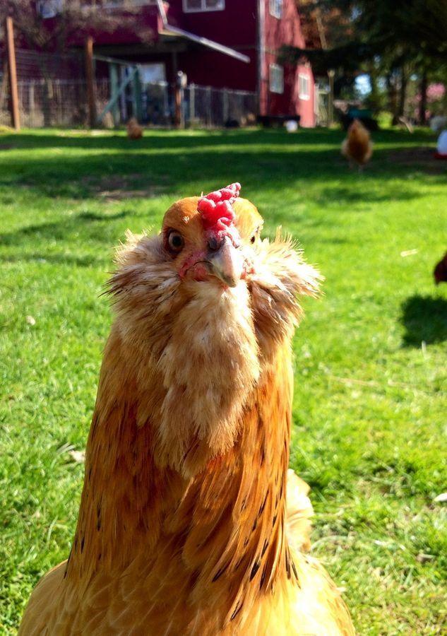 Hermoine the chicken.jpg