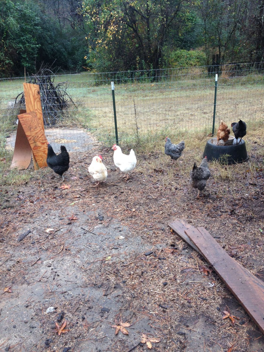 Our Chickens(Under Construction)