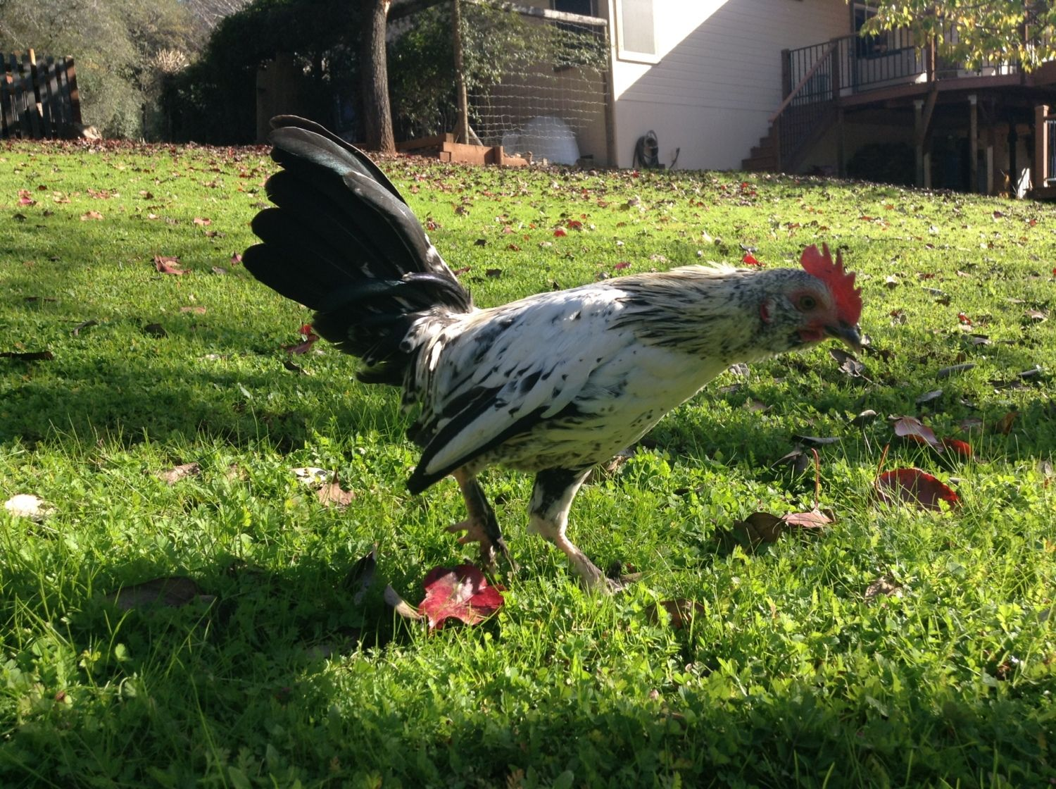 CherriesBrood's photos in Beautiful roosters and cocks in need of rehoming~
