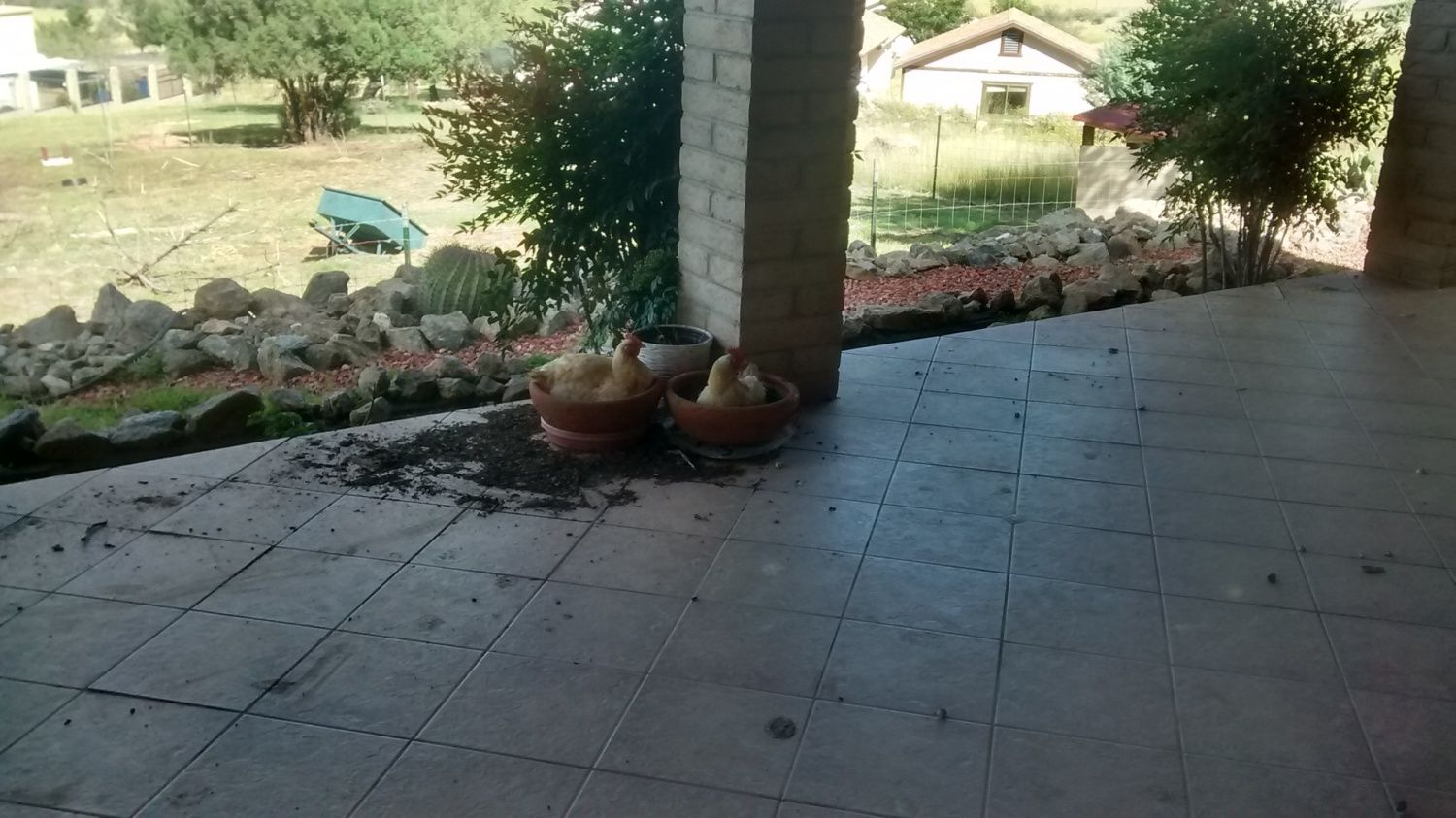 I don't know why anyone would want flowers in their pots when they can have chickens!