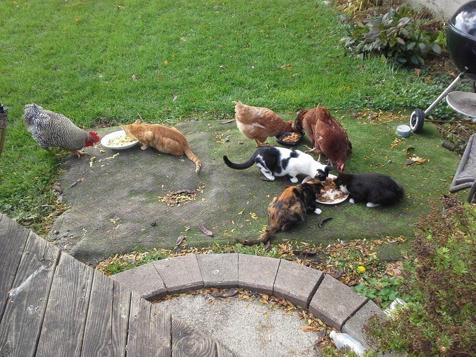 Chickens and Kittens having an afternoon snack