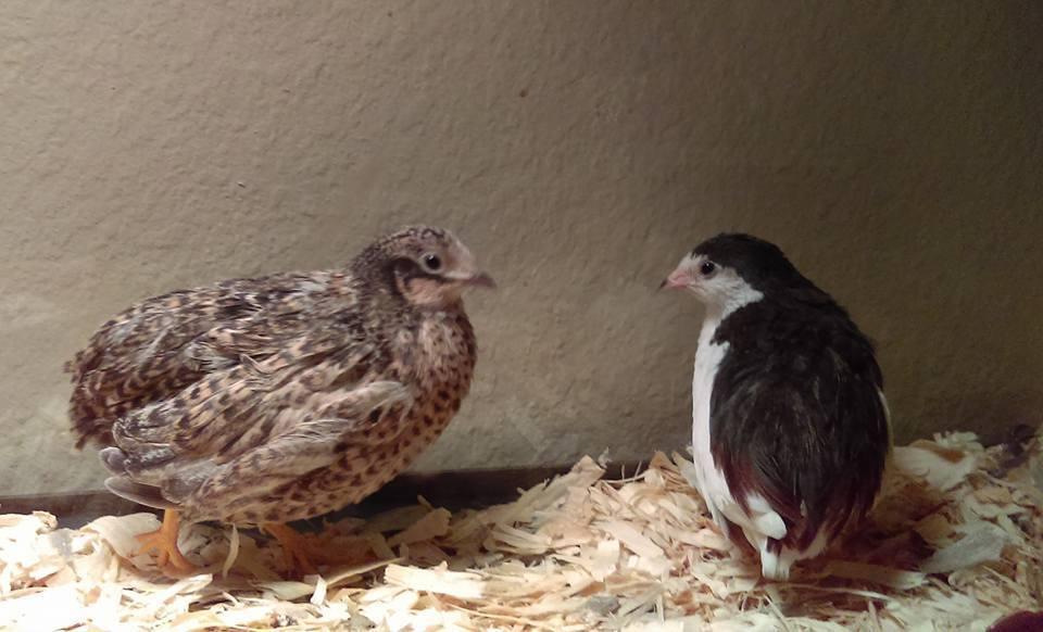 CascadiaRiver's photos in Looking for button quail chicks in Spokane WA/CDA ID area