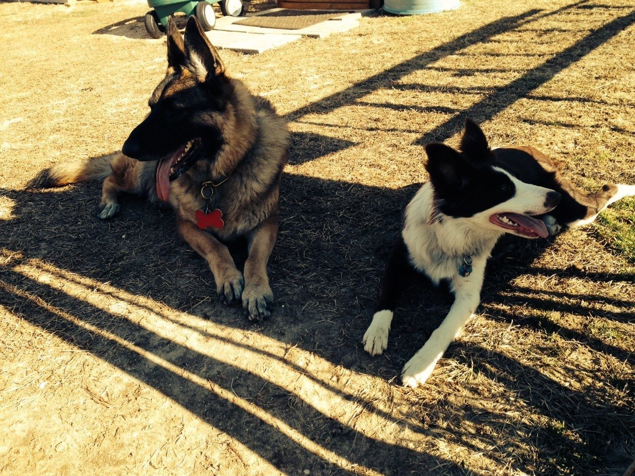 """Our Champion German Shepherd """"Kirby"""" and our Border Collie """"Bubby"""""""