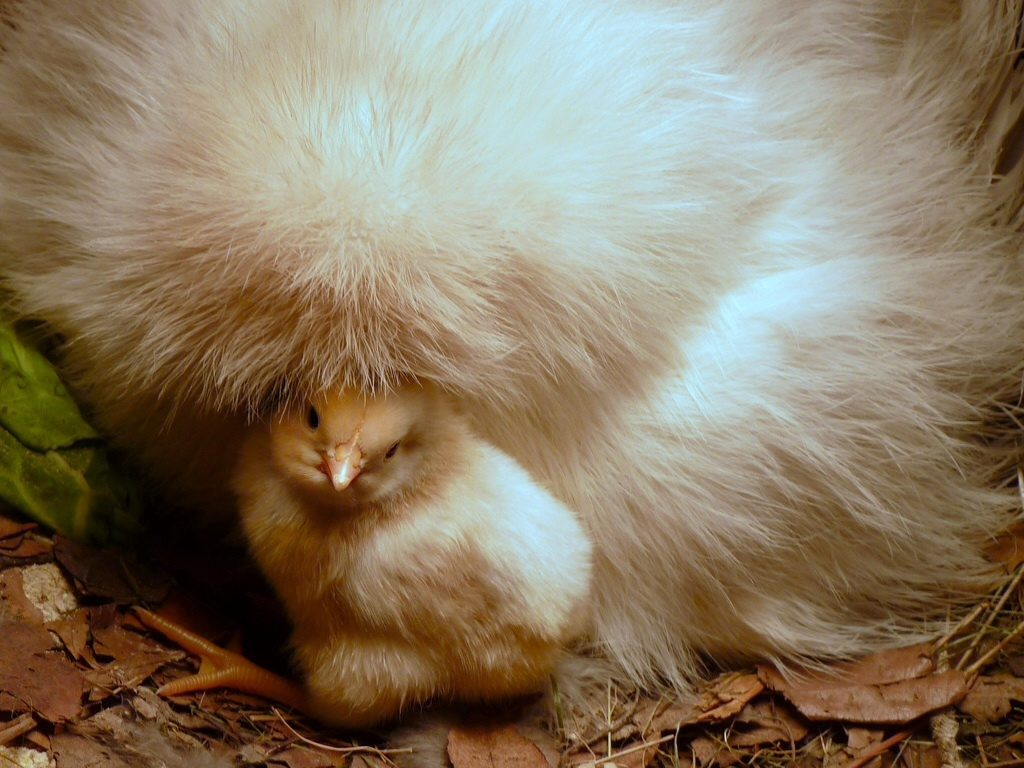 Itty-bitty baby chicks