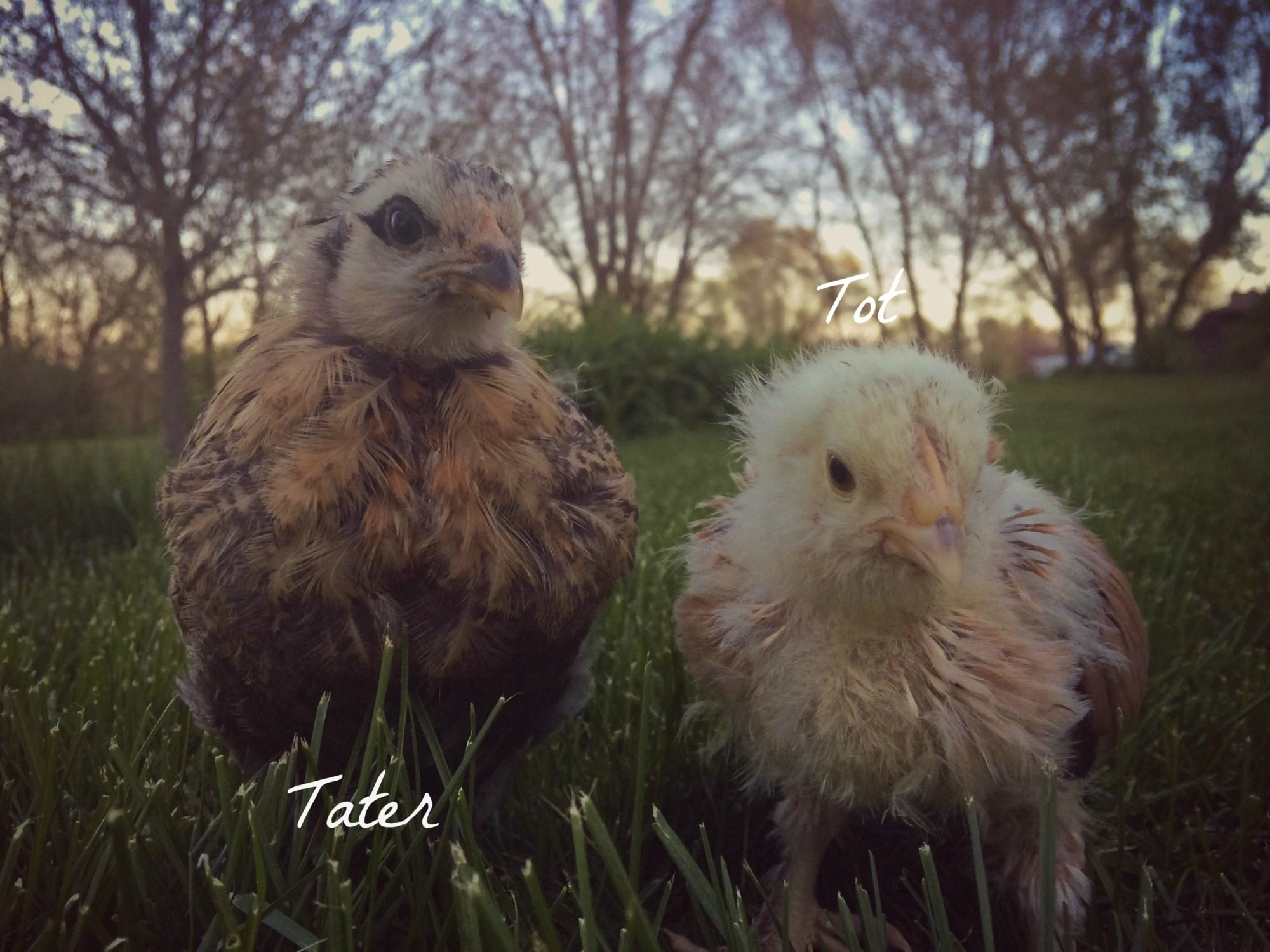 Tater is an easter egger and Tot is a salmon faverolle