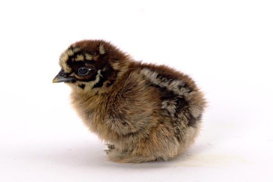 applebutter14's photos in Cutest Breeds of Chicks!!!!