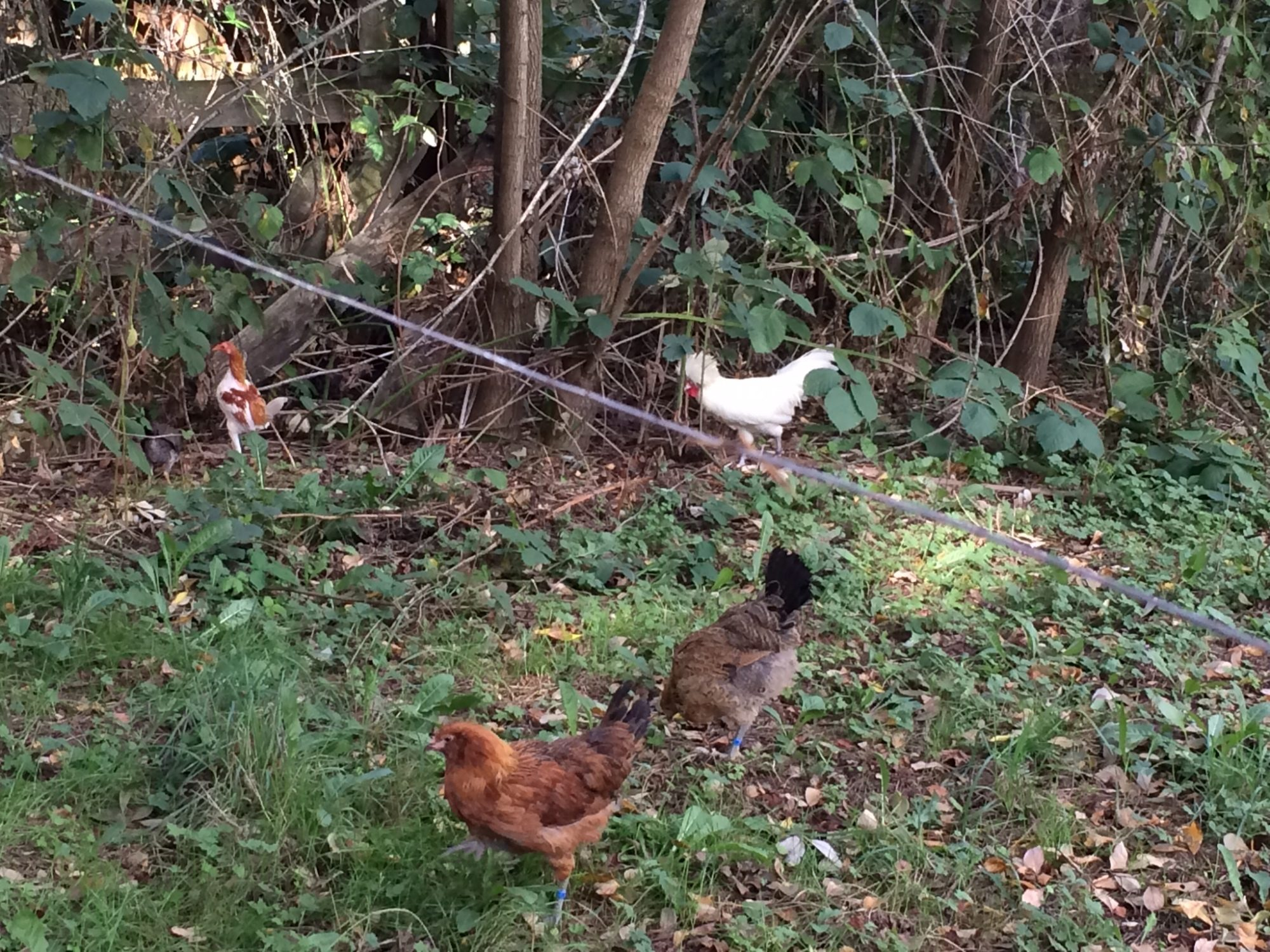 Snowball(the white Polish), Isfet(the modern game bantam), and Snowball's two EE hens, Cleo and Theo.