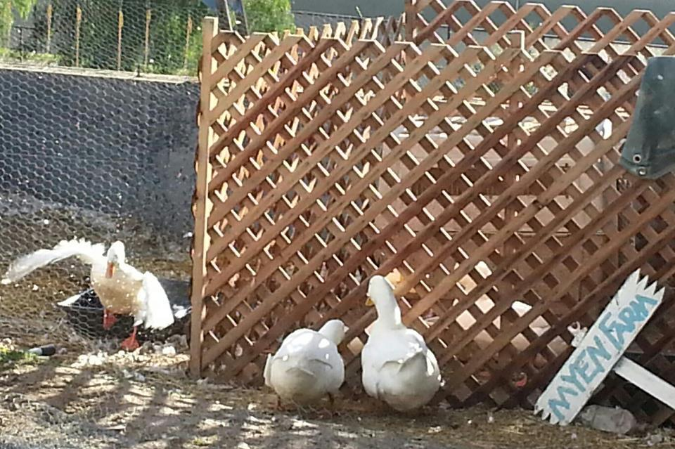 DonaldFan's photos in Plucky Pekin Pals - a place to gush over these wonderful white birds