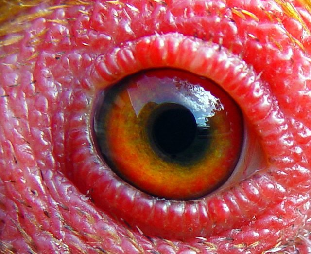 Chicken-Eye