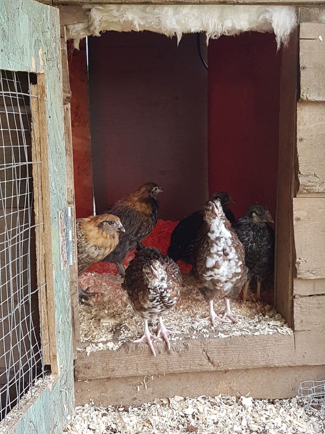 FirstTimeFlock's photos in How often do you clean your Coop?