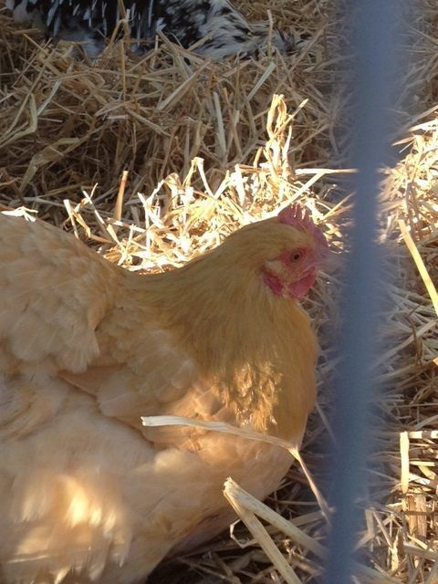 Buff Orpington-Buffy is her name