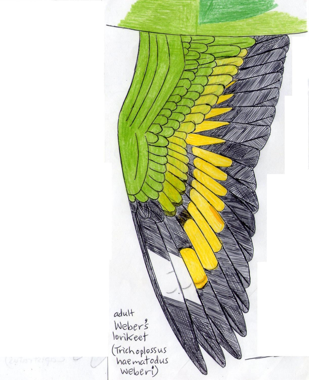 Weber's lorikeet wing.