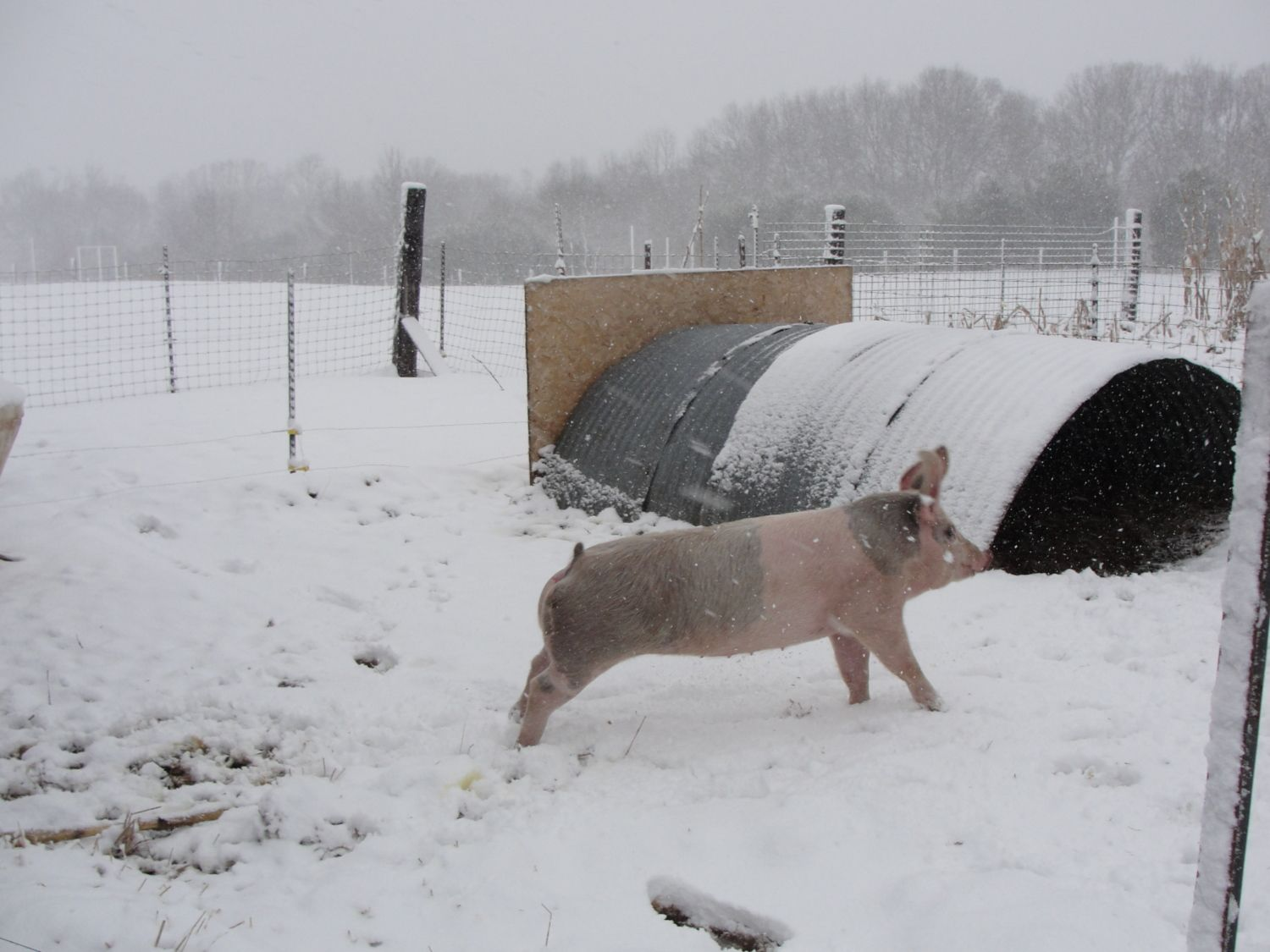 Choosing what to grow to raise pigs - Pigs