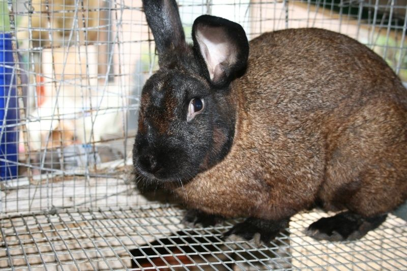 Bunnylady's photos in new zealand rabbit color question
