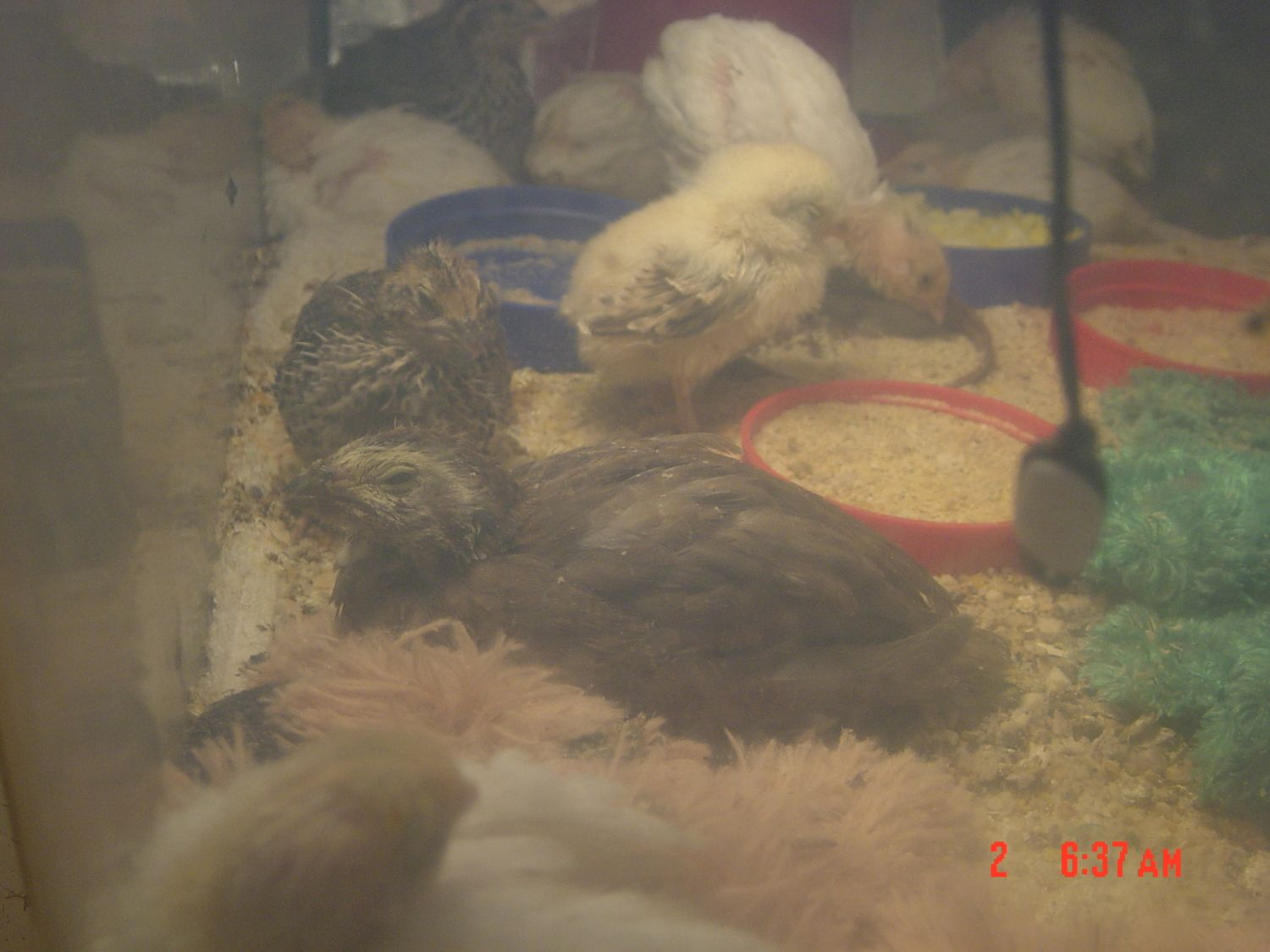 Lobzi's photos in Unusual (to me) looking coturnix quail from mix color breeding