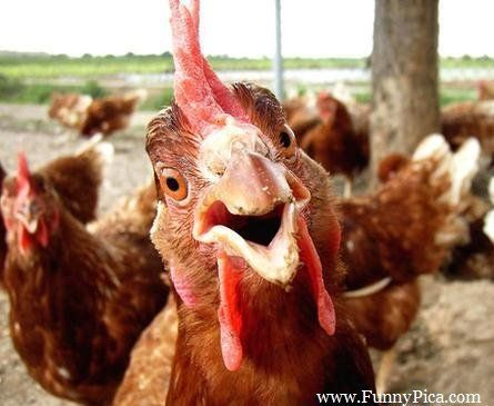 Funny-looking-rooster-Chicken-FunnyPica.com_.jpg