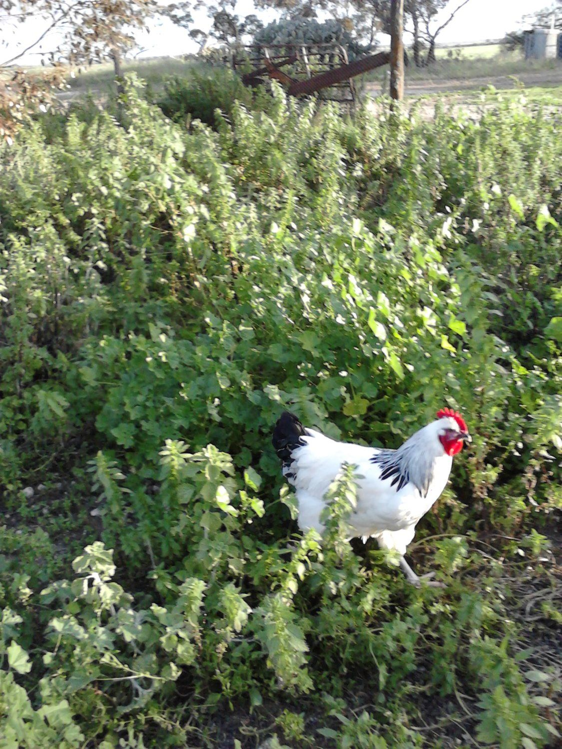 Pure Sussex Roosters under 1 year, 2 left Eyre Peninsula, Big Birds! Under 6 months-ish This pic 3 months.