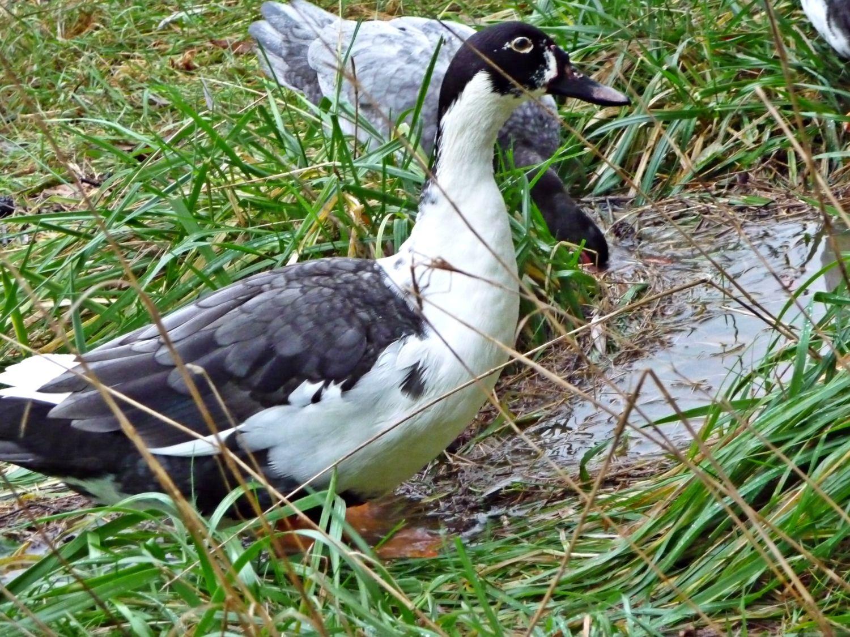 Hybrid or domestic Mallard? - Romania - BirdForum