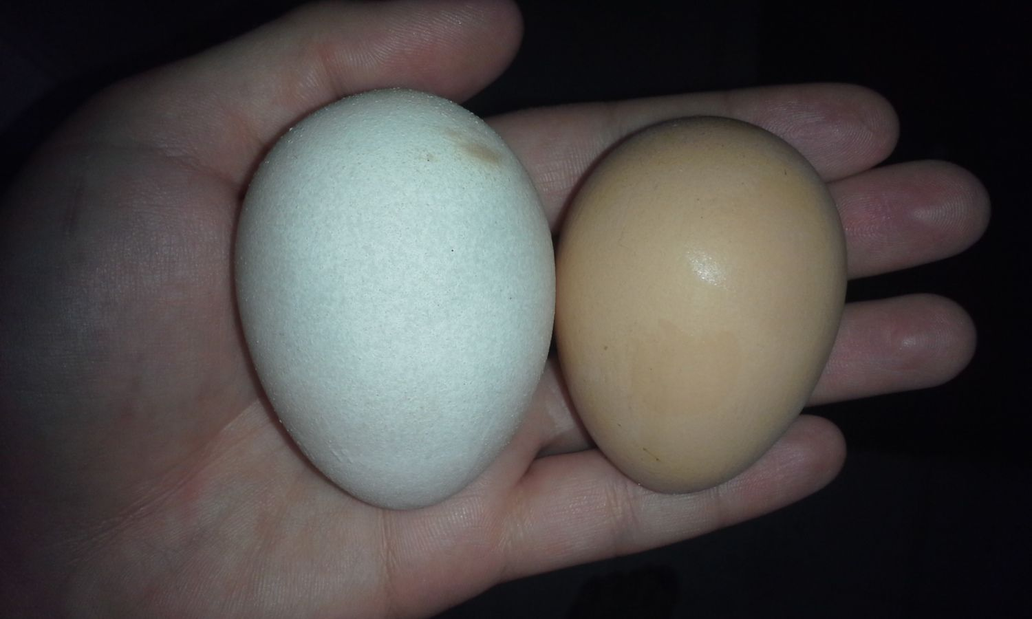 The white egg is the cornish's second egg ever, I feel awful cuz it's huge in person, too big I think for a second try.  She didn't lay for a few days after that one