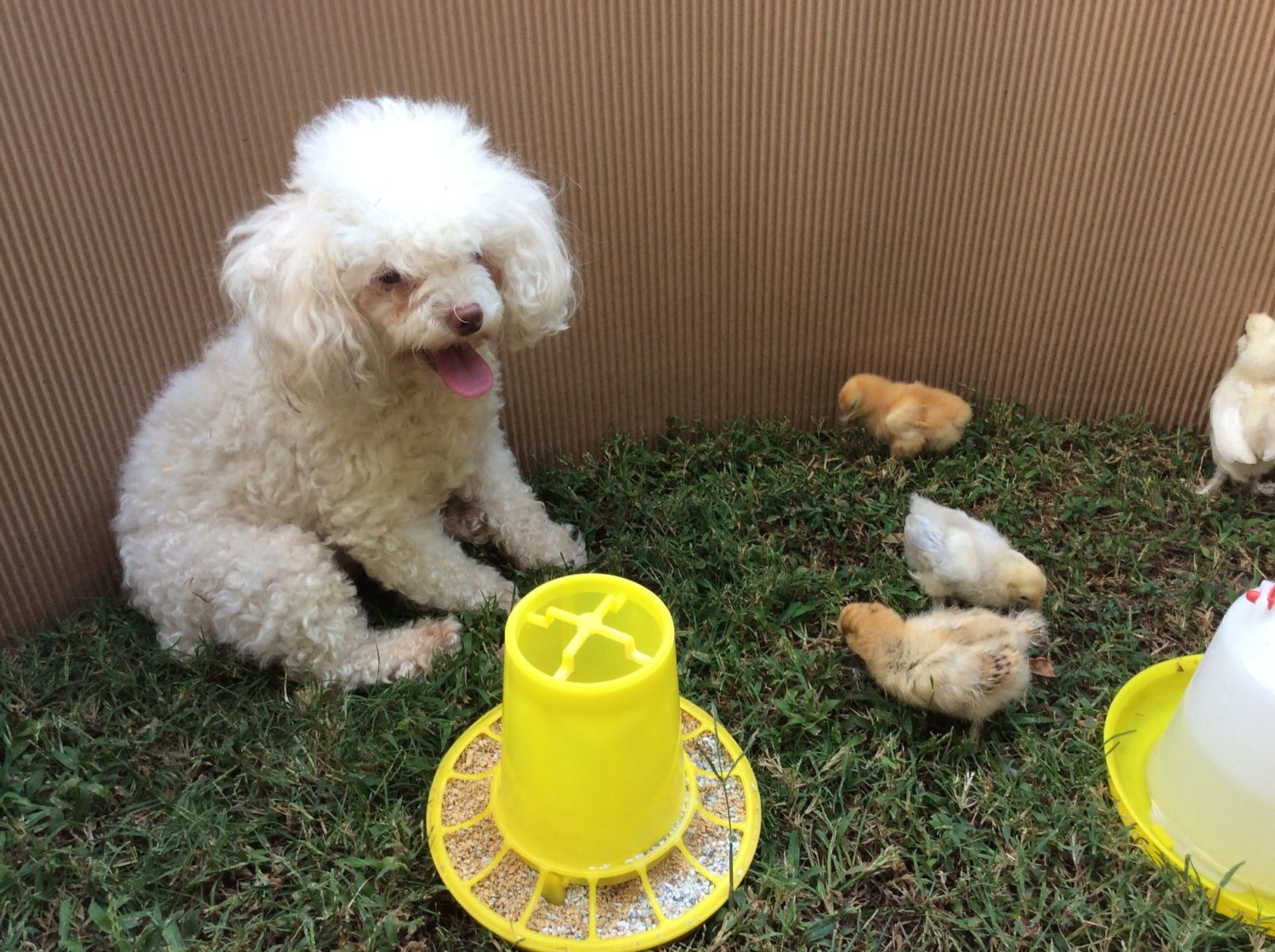 Gracie the poodle was born deaf and she loves the baby chicks.