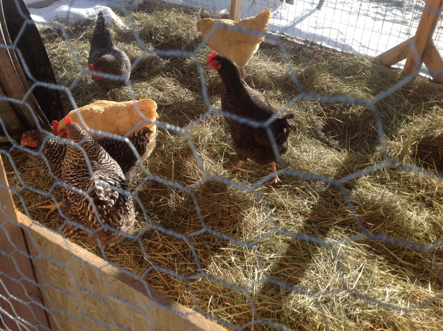 Chickies in the winter