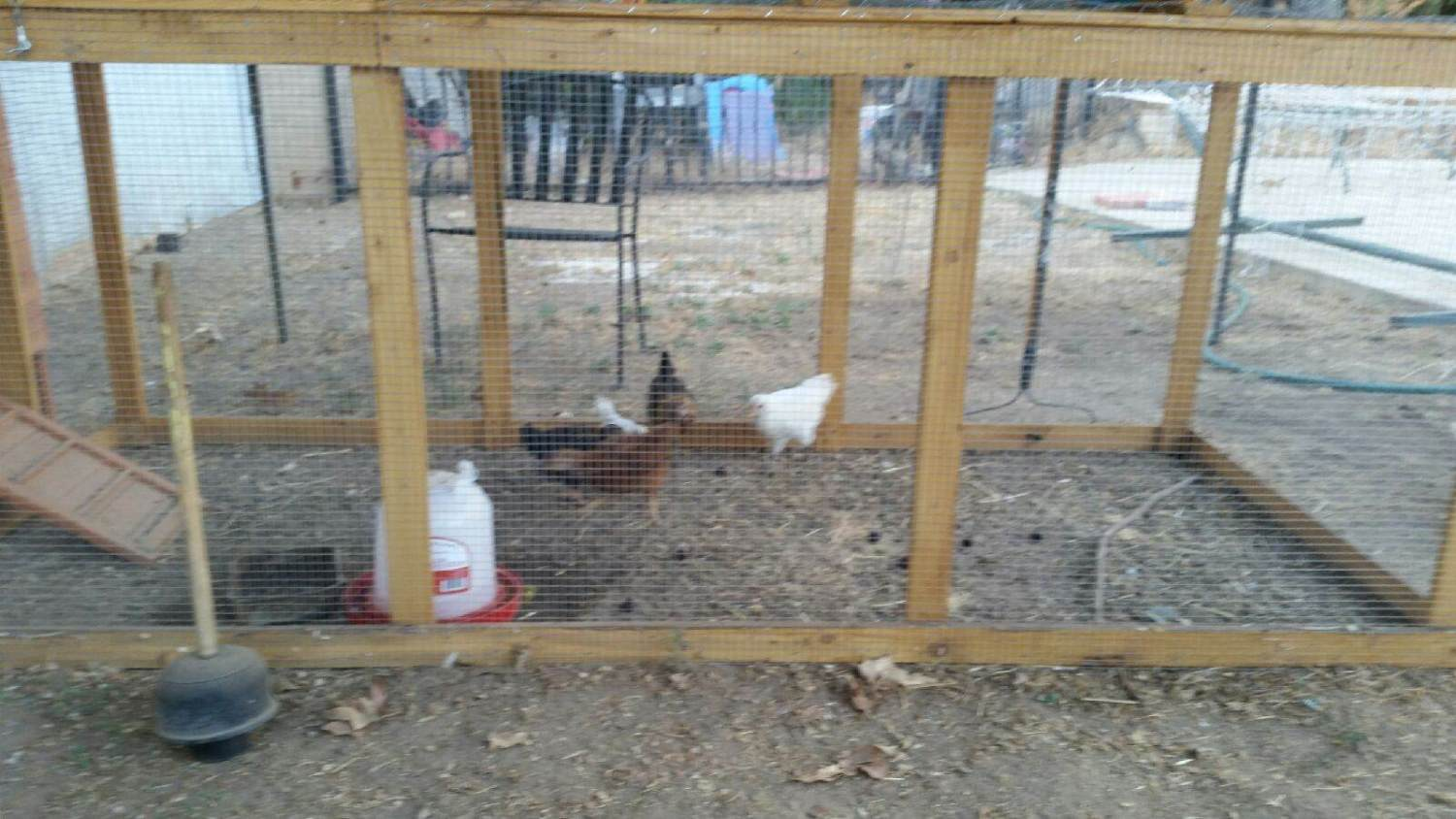 chelsiemom's photos in chickens r dumb!