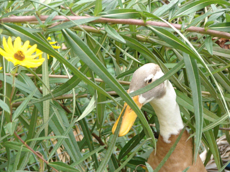Crocus behind a bush.
