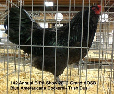 FlashPointFarm's photos in Ameraucana thread for posting pictures and discussing our birds