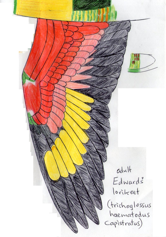 Edward's lorikeet wing.