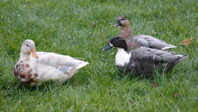 Call ducks munching on grass.